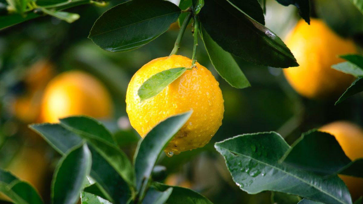 propiedades del limon
